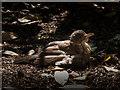 TQ2777 : Female Blackbird Sunbathing, Chelsea Physic Garden, Royal Hospital Road, London by Christine Matthews