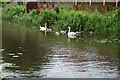 SK4742 : Swans and 5 cygnets on Erewash Canal by Ian S