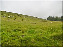 SN9817 : Rhyd Uchaf, sheep grazing by Mike Faherty