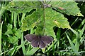 SE5784 : Rievaulx Terrace: Ringlet Butterfly 1 by Michael Garlick