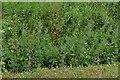 NZ5216 : Ormesby Hall: The overgrown ha-ha by Michael Garlick