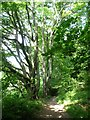 SE3742 : Beech trees along the path, Hetchell Wood by Christine Johnstone