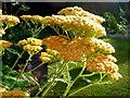 SO6023 : Achillea millefolium 'Terracotta', 1 by Jonathan Billinger