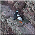 HY1700 : Puffins on the Old Man of Hoy by Doug Lee