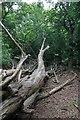 TL4704 : Fallen Hornbeam in Wintry Wood by Glyn Baker