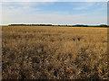 TL2954 : Ripe oilseed rape by Hugh Venables
