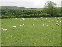 NY7063 : Sheep grazing beside Bellister Road by Graham Robson