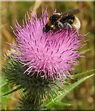 SX9066 : Bee on thistle, Nightingale Park by Derek Harper