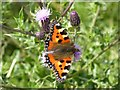 SO8541 : Small Tortoiseshell butterfly by Philip Halling