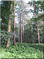 SU9486 : Scots pines among deciduous trees, Dorney Wood by David Hawgood