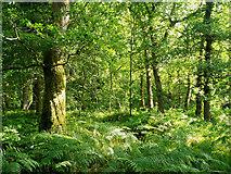 NH5857 : Summer in Drummondreach Oak Wood by Julian Paren