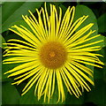 SO8813 : Inula hookeri by Jonathan Billinger