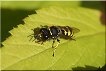 SJ3999 : A solitary wasp of the genus Ectemnius, Melling by Mike Pennington