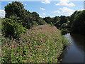 SE2236 : Himalayan balsam in the river Aire by Stephen Craven