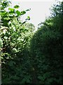 ST4500 : Overgrown footpath approaching Stoke Abbott by Becky Williamson