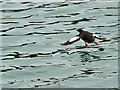NW9954 : Black Guillemot in Portpatrick Harbour by David Dixon