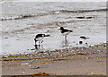 NX0367 : Oystercatchers at Wig Sands by David Dixon