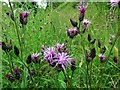 NY7508 : Saw-wort (Serratula tinctoria), Waitby Greenriggs Nature Reserve by Andrew Curtis
