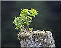 NT1814 : A miniature rowan by Walter Baxter