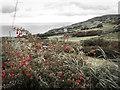 D2239 : Fuchsia hedge on the climb from Torr by Mick Garratt