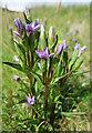 NJ3066 : Field Gentian (Gentianella campestris) by Anne Burgess