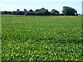 TF5905 : Sugar beet crop near Common Lode Farm by Richard Humphrey