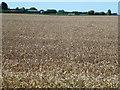 TF5804 : Wheat field near Barroway Drove by Richard Humphrey
