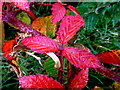H5170 : Bramble leaves turning red, Deroran by Kenneth  Allen