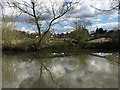 SP2965 : Collapsing willow in a disused field by the River Avon, Myton, Warwick by Robin Stott