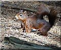 SD2708 : Red squirrel in Formby Woods by Neil Theasby