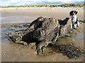 SH7679 : Fossil tree-stump by Jonathan Wilkins