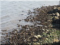 NT3975 : Kelp at Cockenzie by M J Richardson