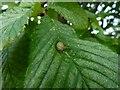 NS3977 : Leaf gall on wych elm by Lairich Rig