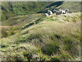 SE0315 : Sheep on Deanhead Moor, Scammonden by Humphrey Bolton