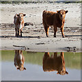 NR2370 : Highland cattle calves in Sanaigmore Bay by Doug Lee