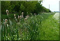 SK7386 : Bulrushes along the Cuckoo Way and Chesterfield Canal by Mat Fascione