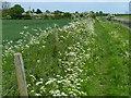 SK7391 : Cow parsley along the Cuckoo Way by Mat Fascione