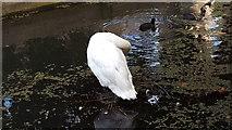 TQ3296 : Swan, New River Loop, Enfield by Christine Matthews