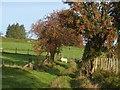 SN9670 : Sheep grazing under the rowans by Derek Voller