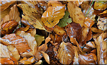J3268 : Autumn leaves, Minnowburn, Belfast - October 2016(2) by Albert Bridge