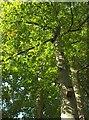 SX9065 : Beech tree near Torbay Hospital by Derek Harper