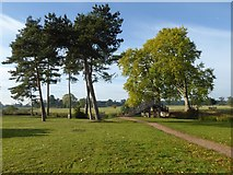 SO8844 : Pine and London plane trees, Croome Park by Philip Halling
