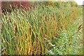 ST5279 : Bulrushes / reedmace by King's Weston Lane, Avonmouth by Derek Harper