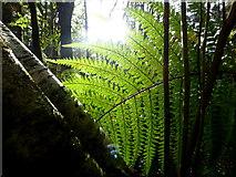 H4963 : Back-lit fern, Seskinore Forest by Kenneth  Allen