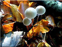 H4963 : Fungus, Seskinore Forest (8) by Kenneth  Allen