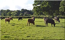 TQ3327 : Cattle grazing by N Chadwick