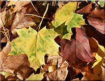 J3371 : Autumn leaves, Stranmillis, Belfast - November 2016(3) by Albert Bridge