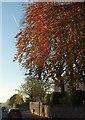 SX9065 : Beech, Barton Road, Torquay by Derek Harper