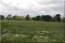 TQ5345 : Wheat, Penshurst Estate by N Chadwick