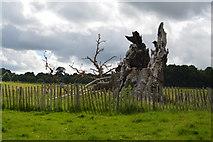 TQ5244 : The Sidney Oak by N Chadwick
